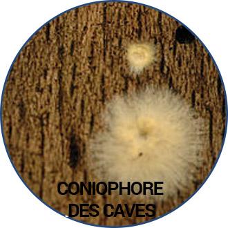 Coniophore